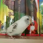 Присмотрю за вашим попугаем