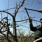 Очистка участка от деревьев