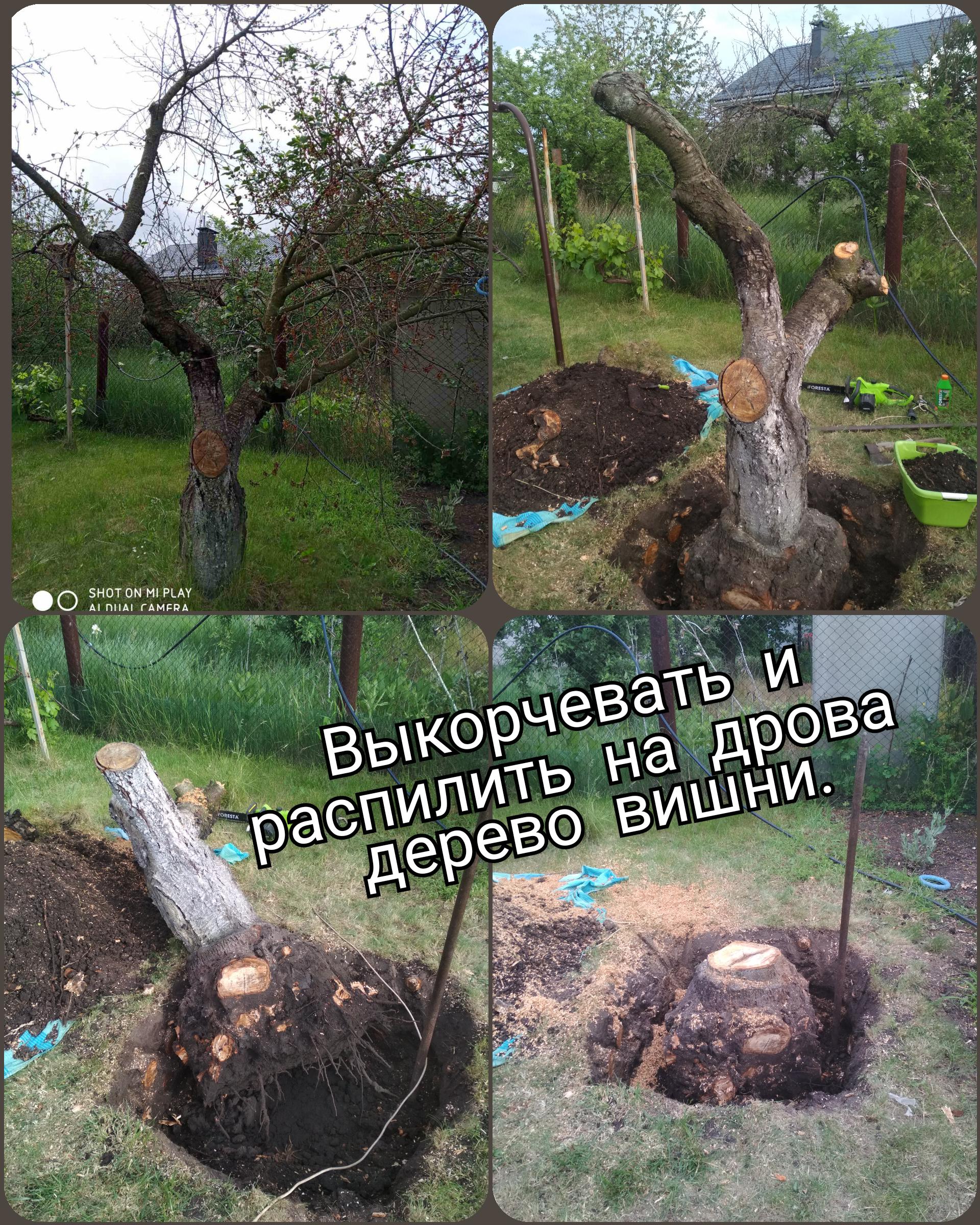 Фото Выкорчевать и распилить дерево вишни.