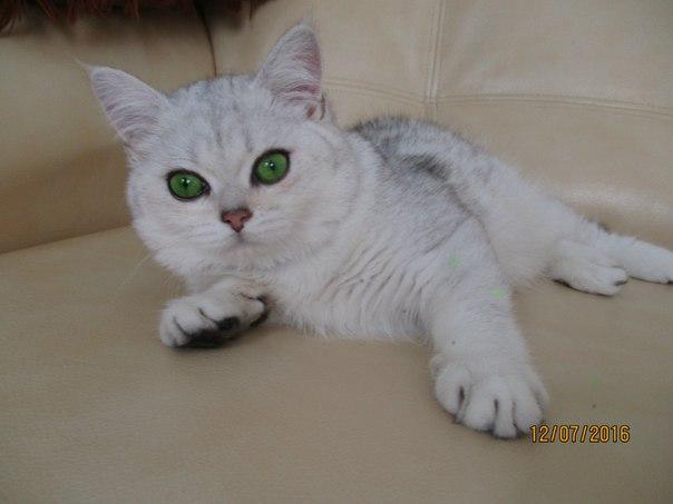 Фото Вязка кошечек. Кот шиншилла серебро. 2