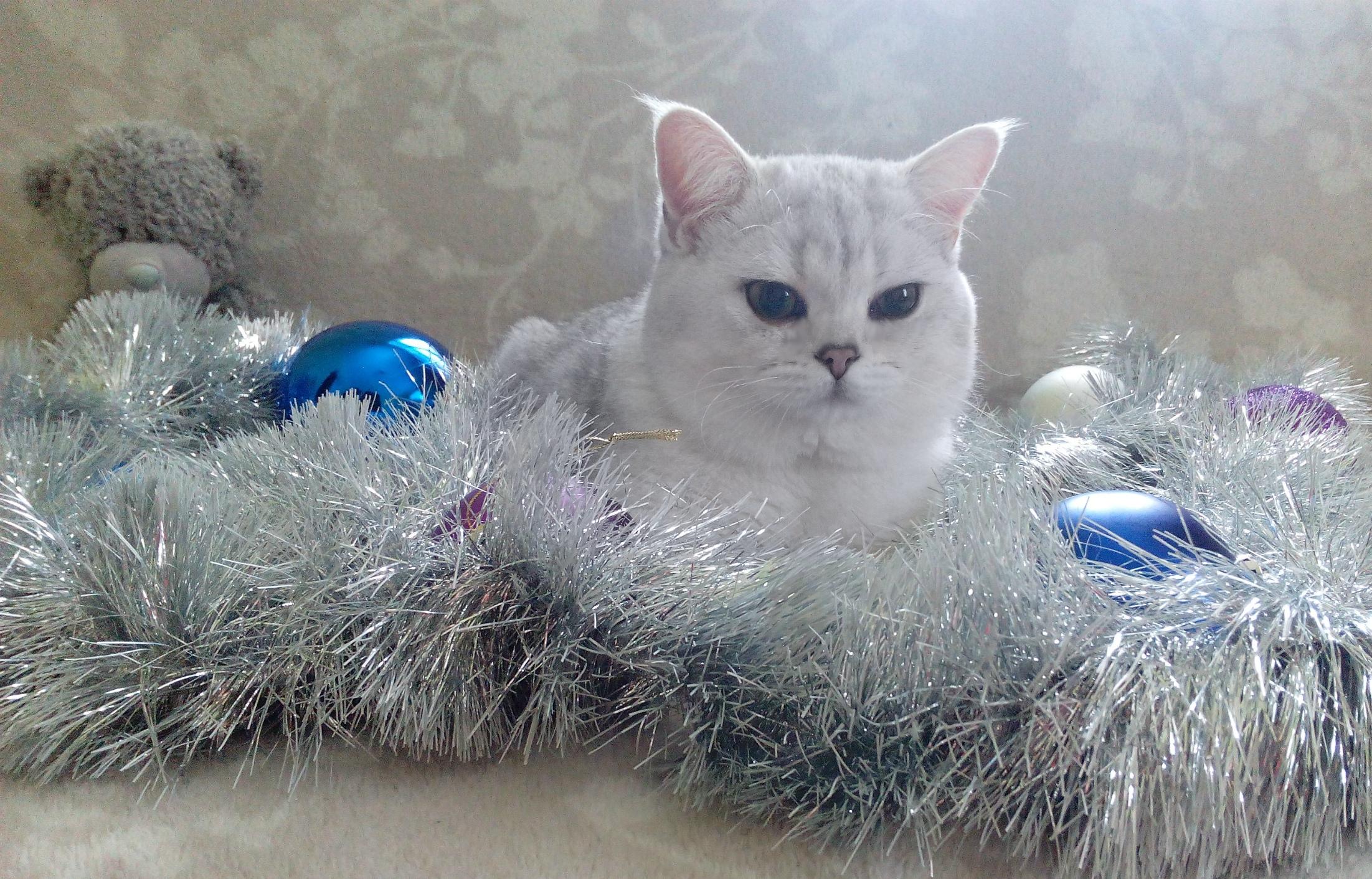 Фото Вязка кошечек. Кот шиншилла серебро. 1