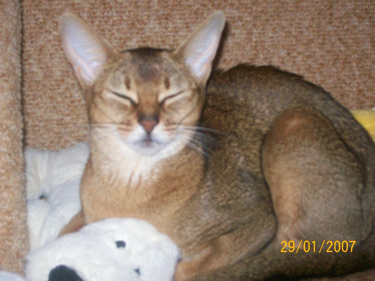 Фото Передержка абиссинской кошечки Баси-1год.