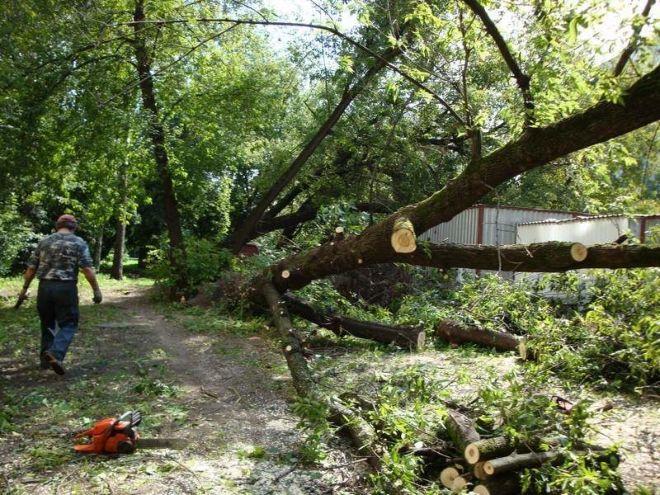 Фото Валка дерева целиком, с предварительной подрезкой веток.