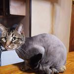 Стрижка  котів