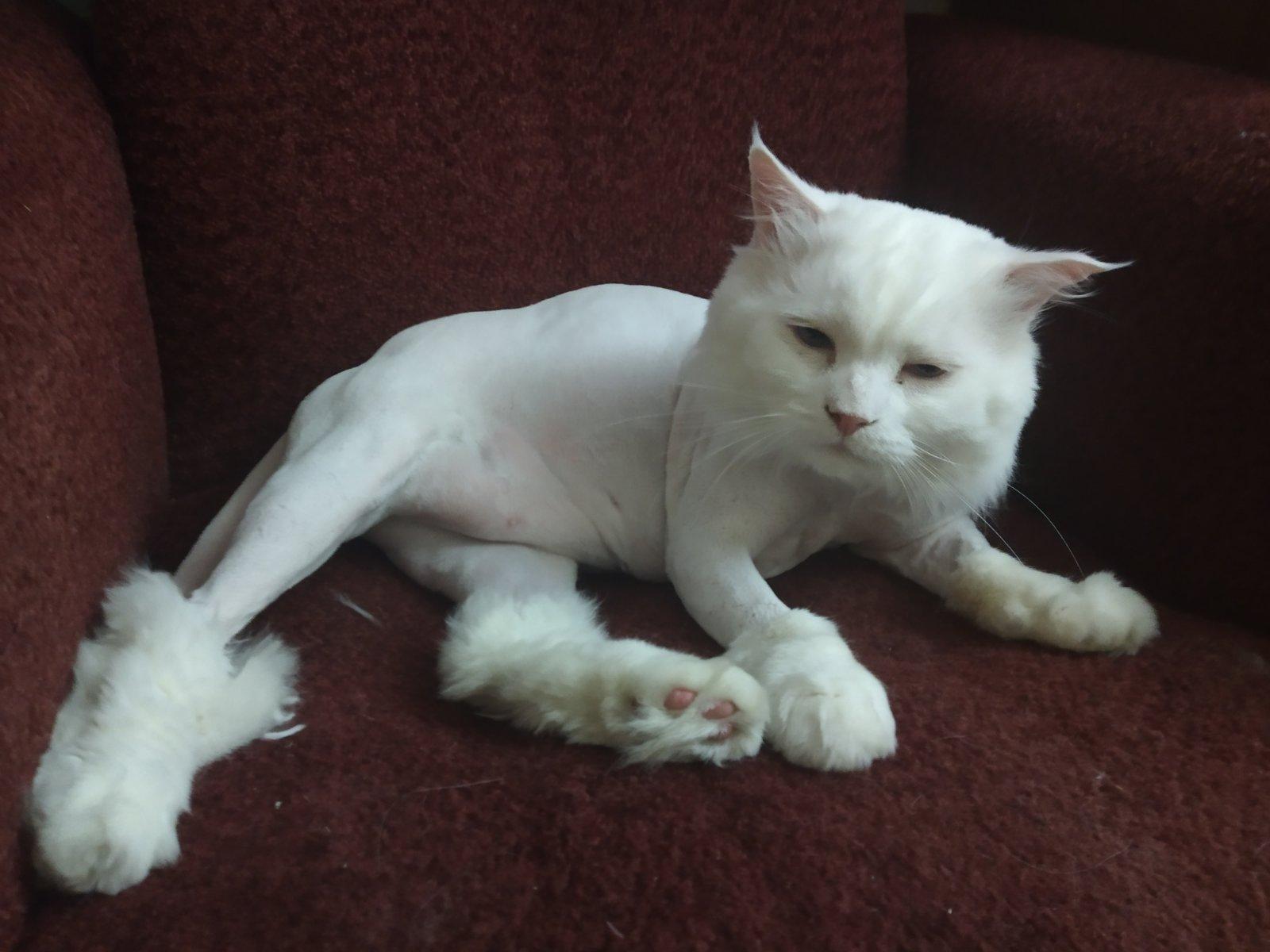 Фото Стрижка кота