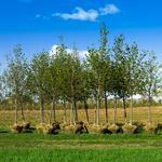 Пересадка та переміщення дерев будь-якого розміру та віку