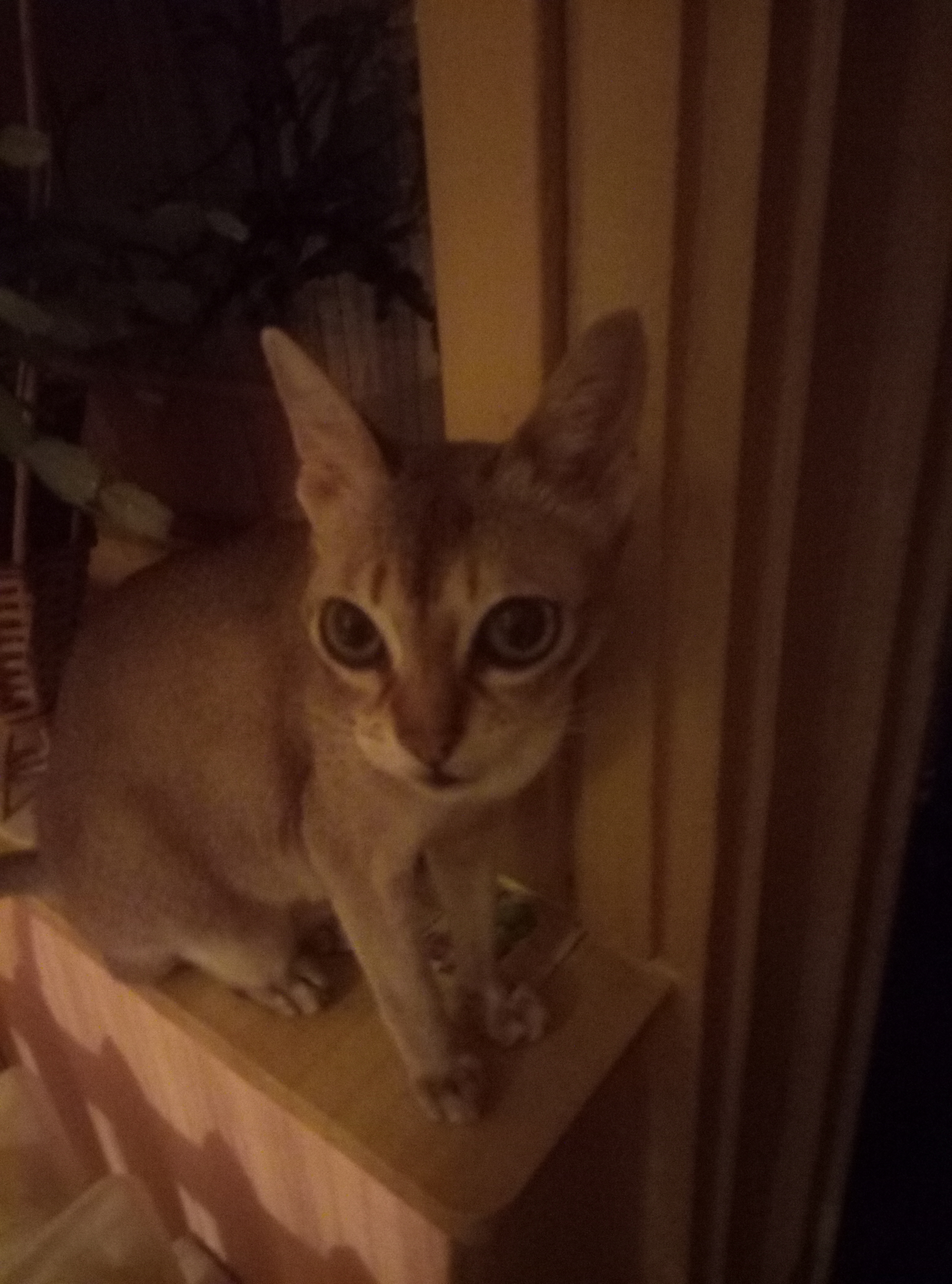 Фото Передержка классной кошки-породы Сингапура😘