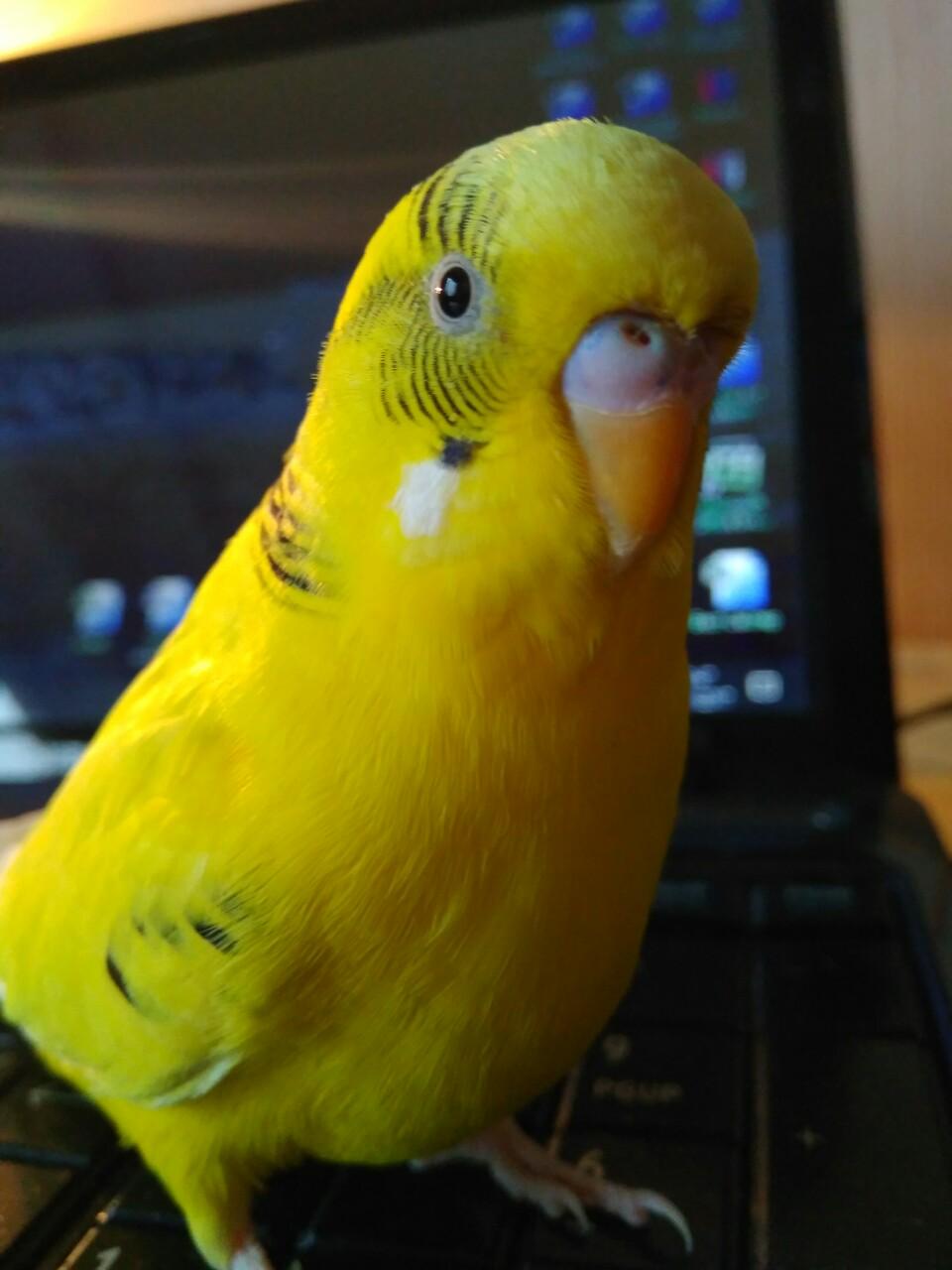 Фото Если Вы едите в командировку или отпуск и Вас долго не будет дома, а птичек оставить не с кем, то смело обращайтесь! Обязуюсь поить, кормить, холить, лелеять и любить как родных. Воспитываю желтого волнистого попугая (на фото), поэтому вашей птичке будет не скучно.  Стоимость за 1 птицу за 1 неделю:  мелкая птица (волнистик, неразлучник, амадин, канарейка)- 100грн + корм.,  средняя птица (корелла) - 150грн + корм.  Все птицы должны быть здоровы и принимаются только в своих клетках.  Заказы принимаются сроком от недели и дольше.  Содержание в условиях городской квартиры.  г.Киев, район Авторынка (что на бул.Перова)