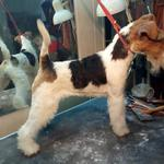 Стрижка, Тримингую собак