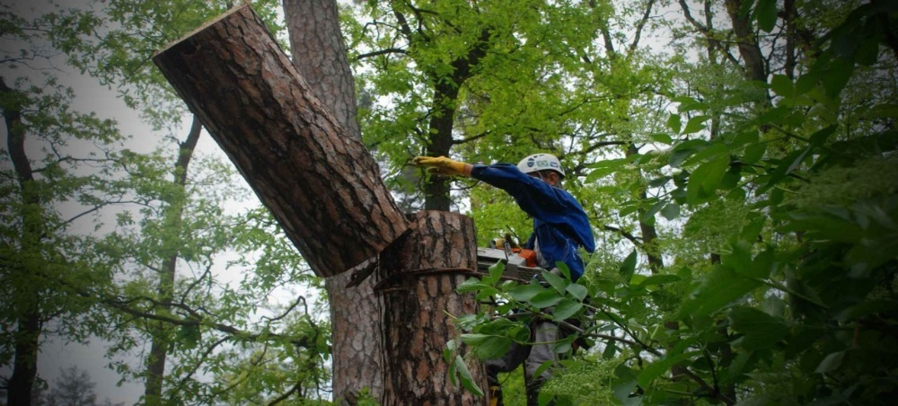 Фото Спил верхушки дерева.