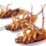 Уничтожение тараканов в кафе, ресторане, магазине.
