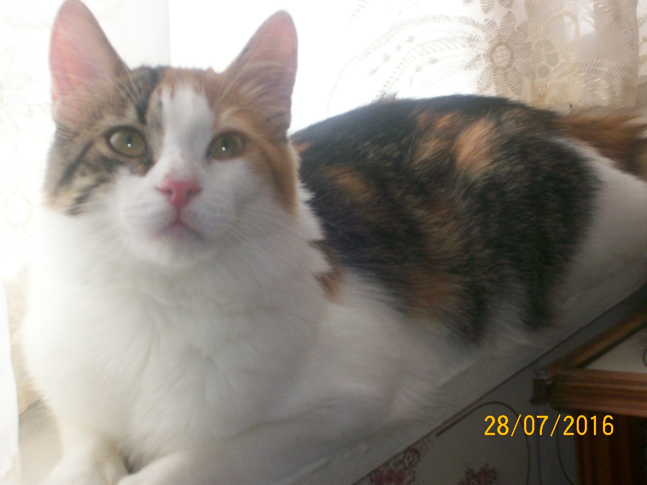 Фото Передержка кошечки Печеньки-1 год