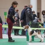 Подготовка собаки к выставке. Услуги хендлера. Киев