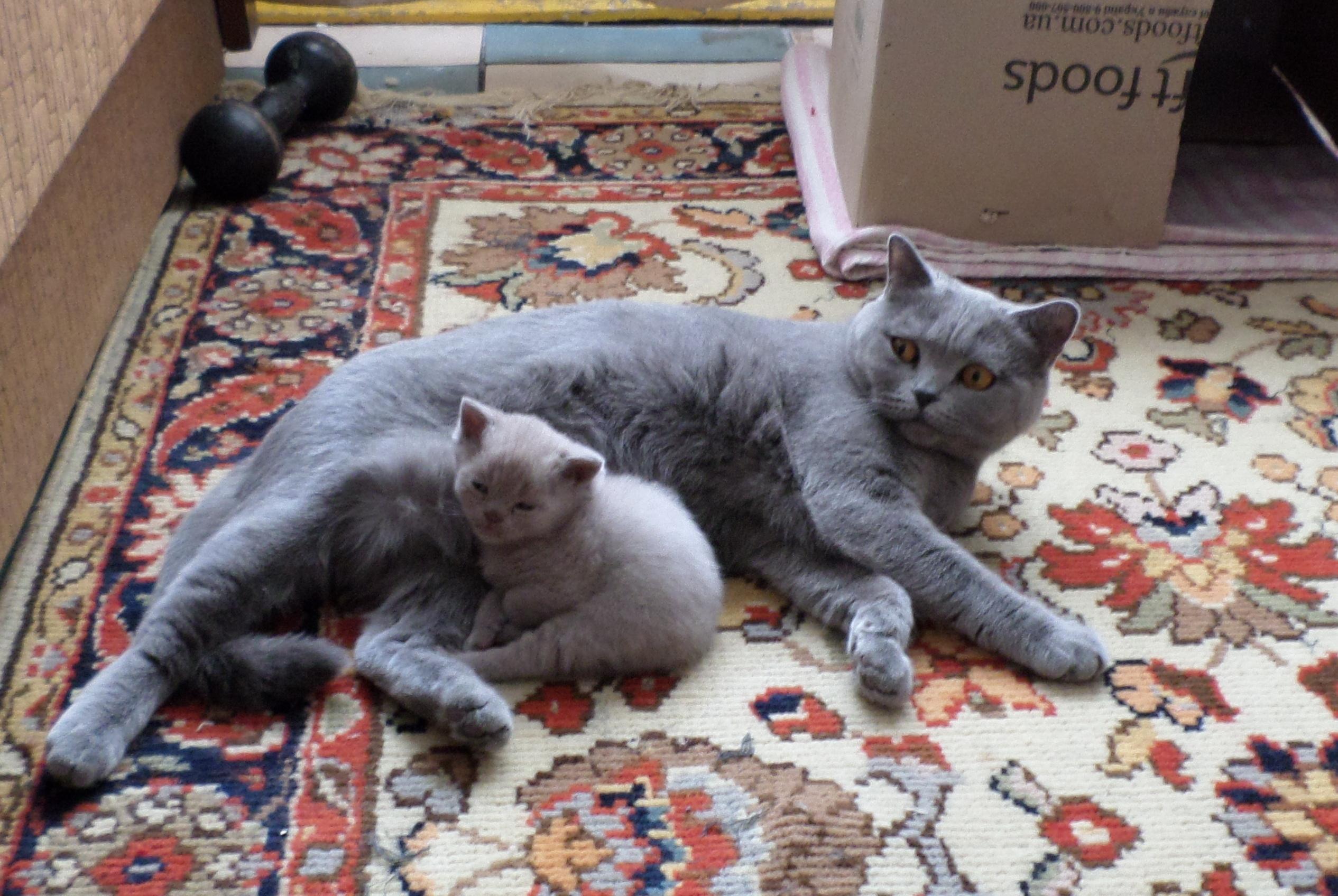 Фото Уход за собственной кошкой и ее детенышем.