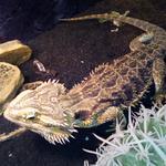 Передержка черепах, ящериц и других рептилий
