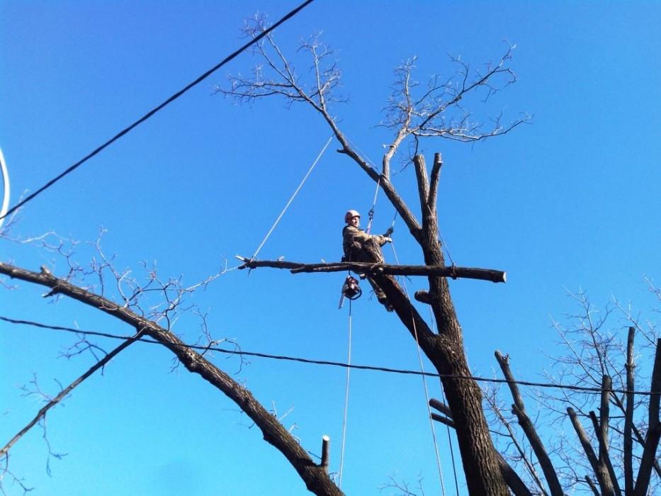 Фото Арбористкие работы по удалению аварийных веток с дерева с предварительной подстраховкой.