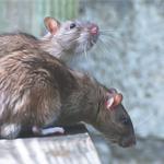 Уничтожу крыс гарантировано 100%