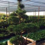 Озеленение от саженца до крупномера