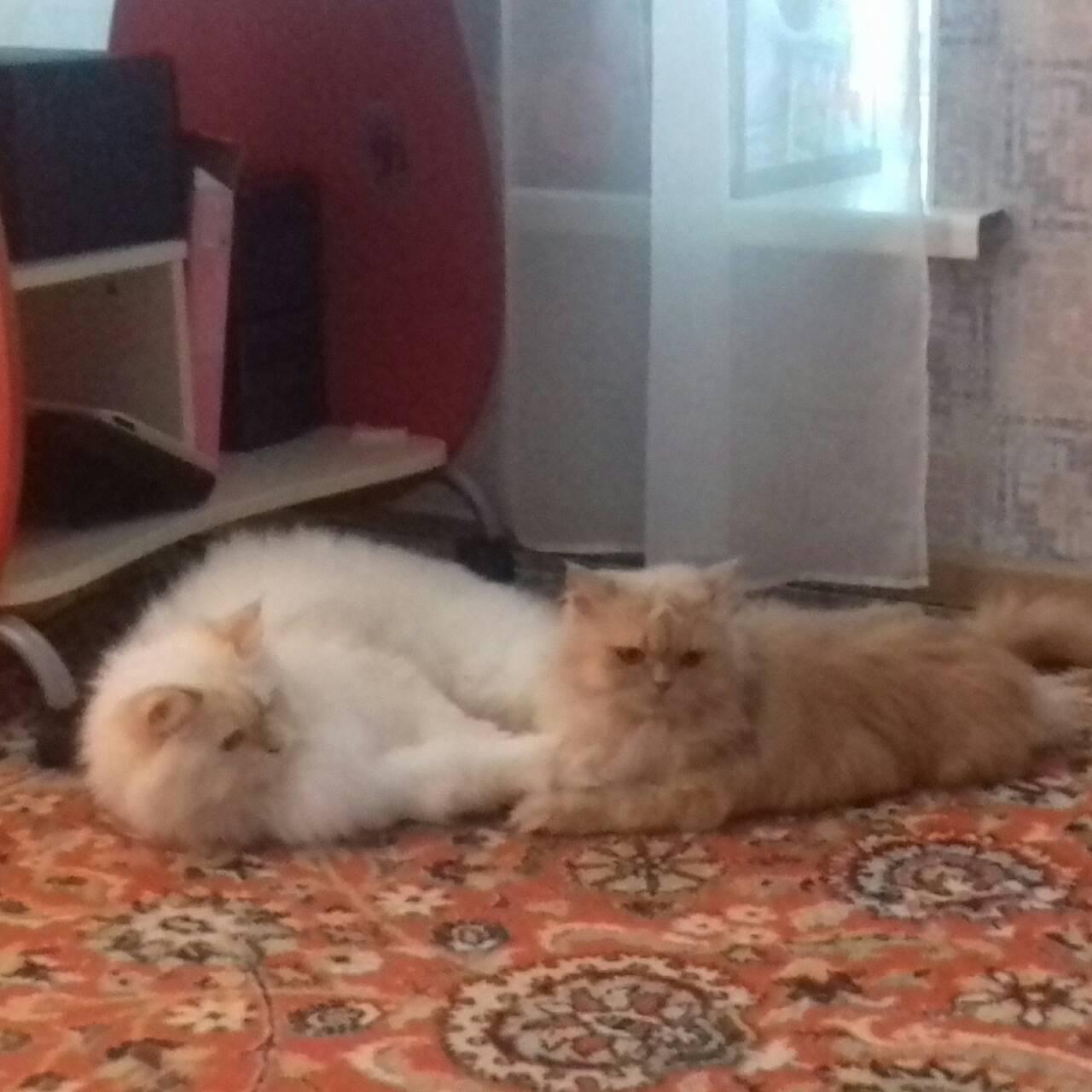 Фото Передержка двух котов
