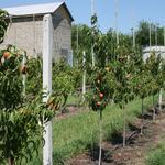 Обрезка фруктовых деревьев, винограда, кустарников